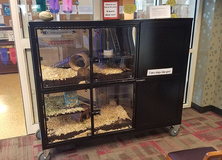 Our degus, Beatrice and Bernard, have a beautiful new habitat at the library! Come check it out in t...